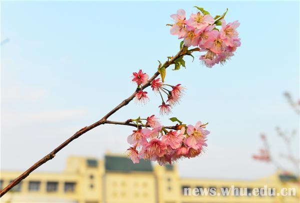 园中有樱初长成